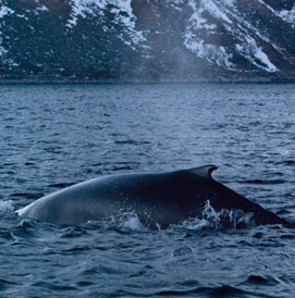 Orcas and humpback whales, Norway